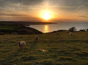 Manx Loghtan sheep - Duncan Foster pic